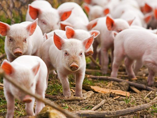 Mơ thấy lợn con là điềm đen hay đỏ? Con số liên quan là số mấy?