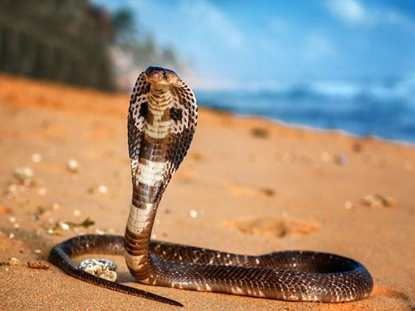 Ngủ mơ thấy ăn thịt rắn hổ mang