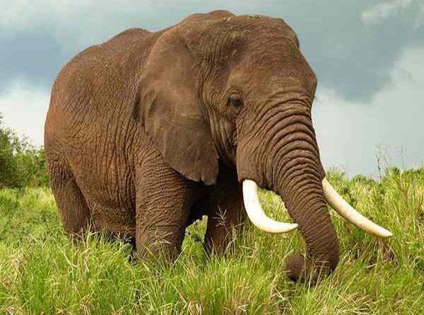Nằm mơ thấy voi đánh con gì?